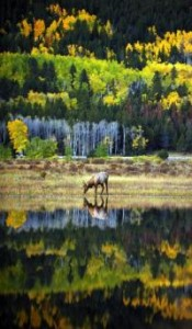 A young elk drinks from a pond in Rocky Mountain National Park. (RJ Sangosti, Denver Post file) Note: Keep apprised of flood closings