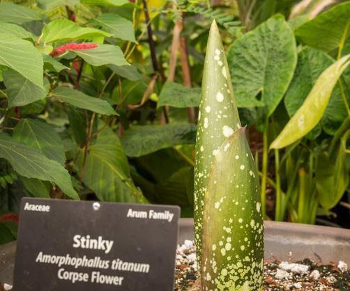Stinky the Corpse Flower is Back for Possible Bloom #2 | Mile High Mamas